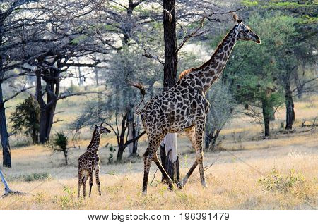 female Giraffe with her days old offspring