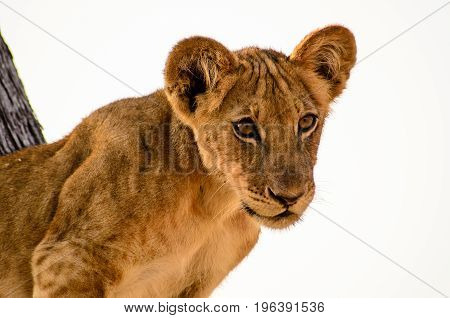 Close up of the face of a young inquisitive lion