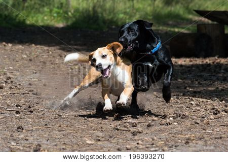Tricolor purebred beagle and black hunting hound dogs play fighting while running towards the camera action shot