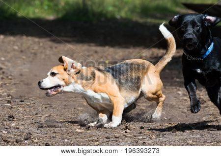 Tricolor purebred beagle running and evading black hunting hound dog action shot