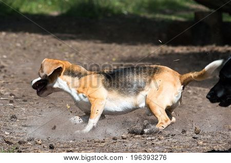 Tricolor purebred beagle running and evading black hunting hound dog taking sharp turn trowing up dirt and dust towards the camera action shot
