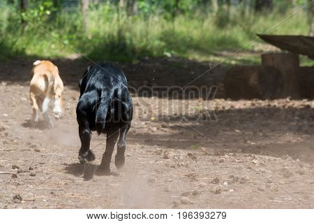 Tricolor purebred beagle running away from camera with black hunting hound dog chasing trowing sand dust in the air action shot