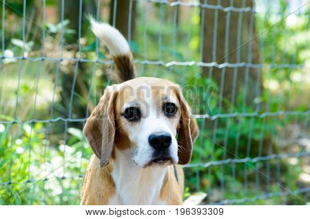 Purebred tricolor beagle hunting hound dog with green trees and grass plants in the back frontale close view