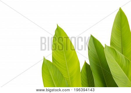green leaf of Heliconia (Heliconia spp.) flower tropical flower plants on white background heliconia or bird of paradise flower plants