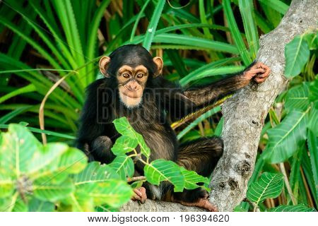 Young inquisitive Chimp closely taking an interest in proceedings