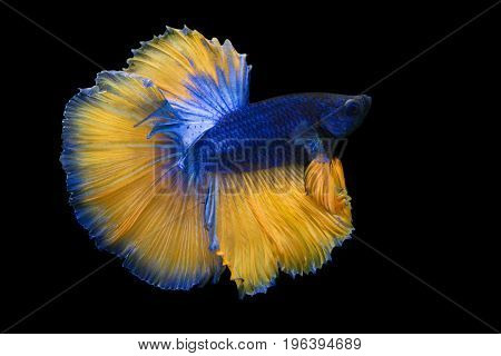 Image Of Betta Fish Isolated On Black Background Action Moving Moment Of Mustard Over Half Moon Betta Siamese Fighting Fish