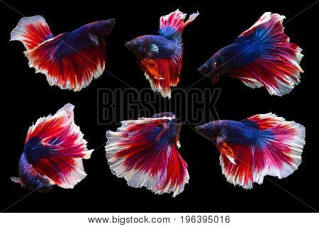 collection of betta fish isolated on black background many action moving moment of Flower Half Moon Betta Siamese Fighting Fish