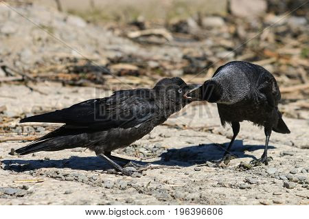 A Jackdaw feeding it's fledgling by passing food into it's beak