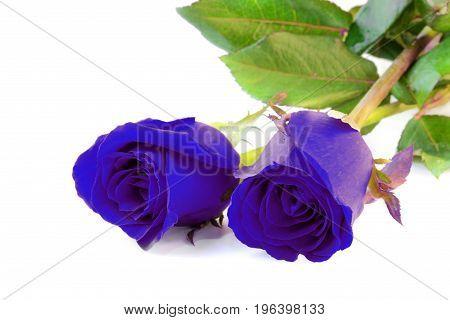 Two fantasy blue roses on white background.