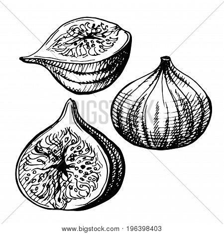 Hand-drawn illustration of Figs.Fig fruit illustration. Engraved style illustration. Vintage sketch fruit.