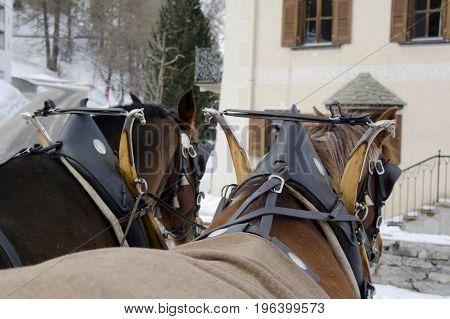 horses in sils during winter in switzerland