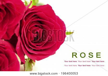 Pink roses on white background. Greeting card.