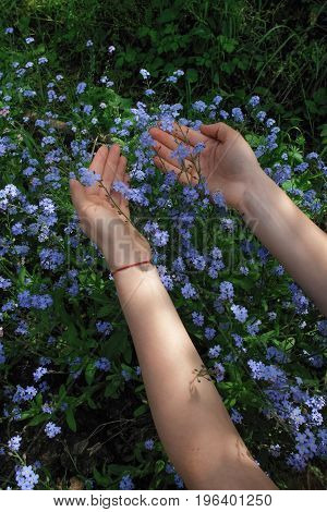 Blue forget me not flowers in the garden. Female hands touching forget me not flowers. Natural daylight on a sunny spring day.