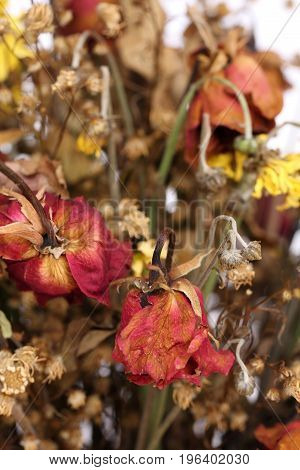 Close up of dried withered roses in bouquet.