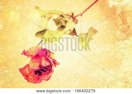 A whithered rose isolated on vintage grungy background.