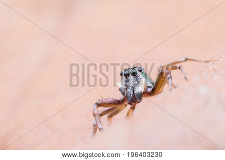 Super macro Cosmophasis umbratica or Jumping spider on dried leaf
