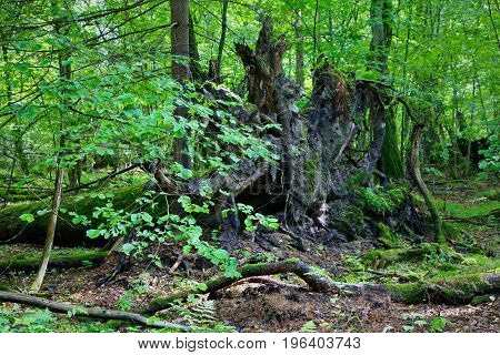 Broken tree roots partly declined against fresh green deciduous stand in mist rain after, Bialowieza Forest, Poland, Europe
