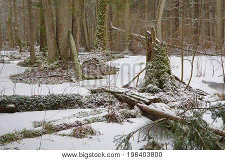Broken old alder tree moss wrapped in old natural stand surrounded by frozen water, Bialowieza Forest,  Poland,  Europe