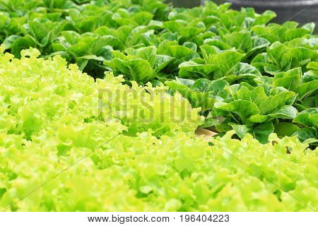 Organic hydroponic vegetable cultivation farm Green cos lettuce and green oak.