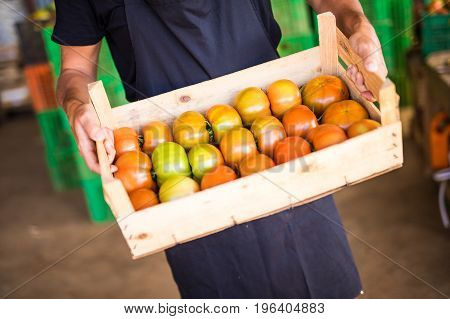 Close Up Of Woman S Hands Holding A Big Box Of Tomato Harvest In The Garden