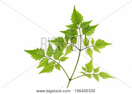 Natural green leaves isolated on white background