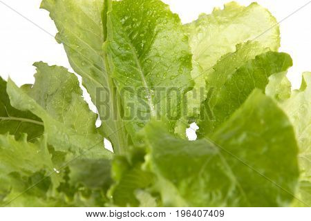 A bunch of fresh lettuce. Leaves of lettuce close-up.