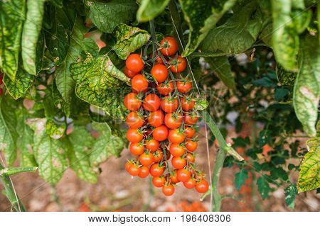 Branch Of Fresh Cherry Tomatoes Hanging On Trees In Greenhouse
