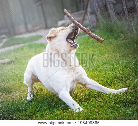 Purebred labrador tries to catch a flying stick