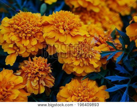 A close-up picture with yellow marigold flowers.