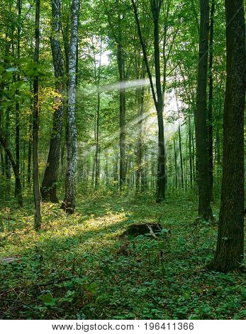 Morning sun beams in the summer forest.