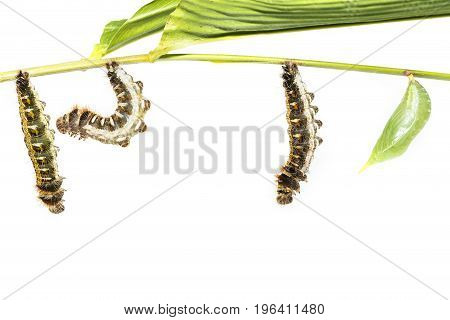 Transformation from caterpillar to chrysalis of common duffer butterfly ( Discophota sondaica Boisduval ) hanging on twig with white background