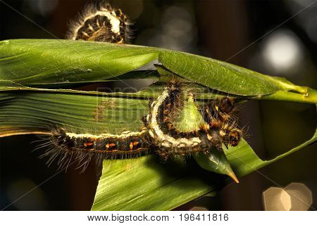 Black Caterpillar Of Common Duffer Butterfly ( Discophota Sondaica Boisduval ) Hanging On Leaf Plant