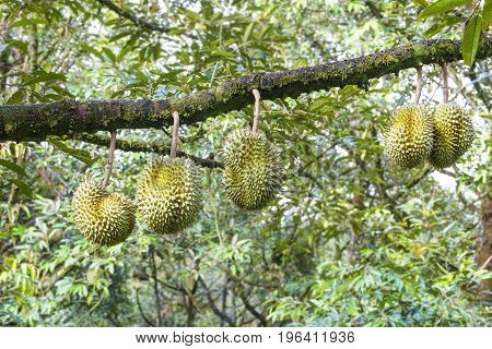 Fresh Mon Thong or Golden Pillow durian king of tropical fruit on its tree branch in the orchard