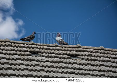 Pigeons on the roof of a rural house