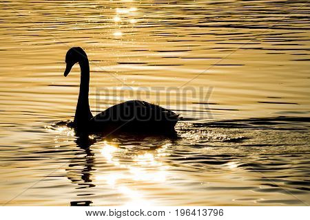 Swan on the lake in sunset rush to go home