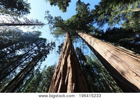 Giant Sequioa Trees in Sequioa National Park. California. USA