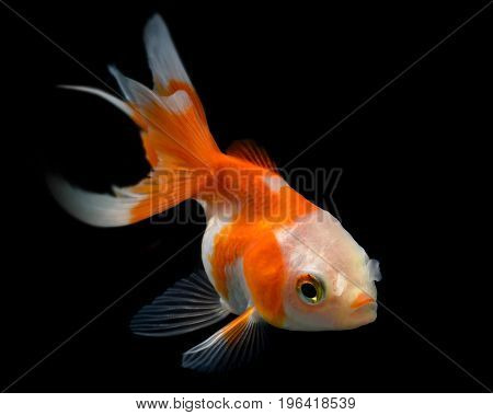 Young Golden Fish In Fish Tank.