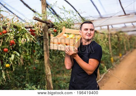 Young Man Farmer Carrying Tomatoes In Hands  In Wooden Boxes In A Greenhouse.