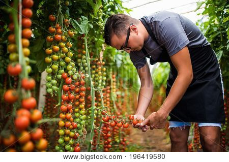 Farmer Checking Red Cherry Tomatoes Harvest For Collection In Greenhouse