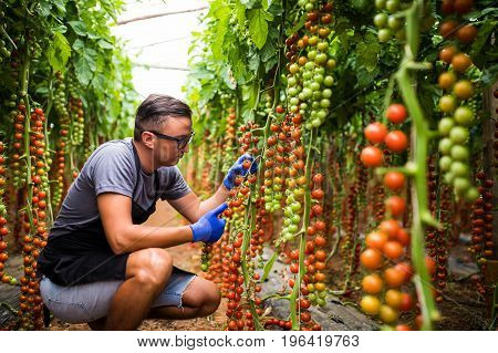 Yuong Man Farmer Agronom In Glasses Check The State Of Cherry Tomatoes In Ripe In Greenhouse.