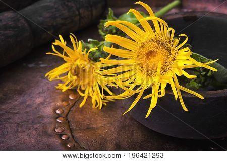 Flowers Of Medicinal Elecampane