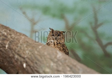 Funny looking owl with adorable ears looking straight in the camera across the tree
