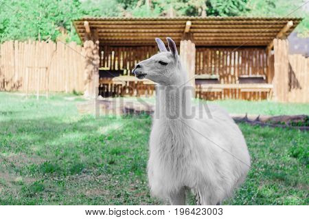 White fur llama standing facing to the left on the background of a green grass, trees and a tent