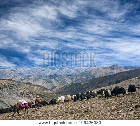 Caravan Of Yaks In Dolpo, Nepal Himalaya