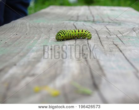 The Caterpillar Of The Machaon Crawls Along The Wooden Surface In A Blurred Background