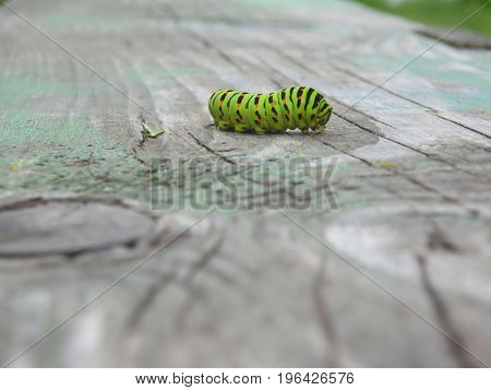 The Caterpillar Of A Machaon With A Aphid On Its Side Crawls Along A Wooden Surface In A Blurred Bac