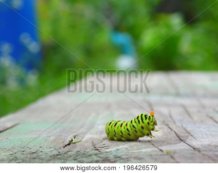Caterpillar Machaon In The Fighting Post On A Wooden Surface In A Blurred Background