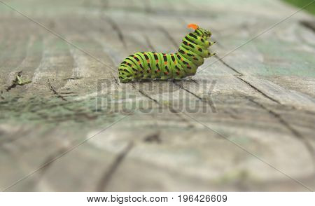 Caterpillar Of The Machaon In A Fighting Stance With Orange Antennae On A Wooden Surface In A Blurre