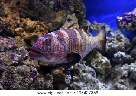 Red coral grouper, big blue spotted fish swims near stones underwater, diving, sealife, selective focus