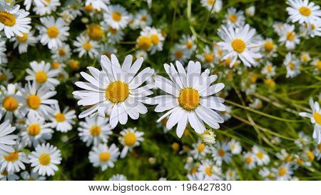 Close up of beautiful summer chamomile flowers